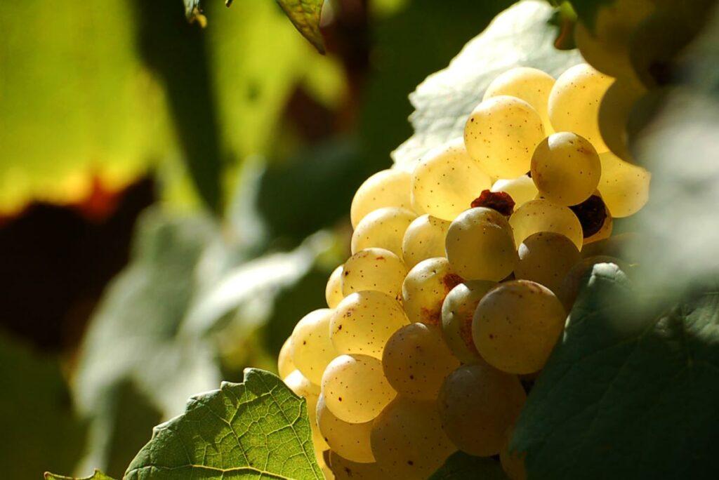 02_Chardonnay-Bourgogne-vin-frederic-leprince
